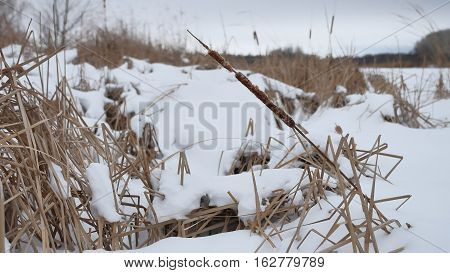 dry grass in snow on a river reeds beautiful landscape winter