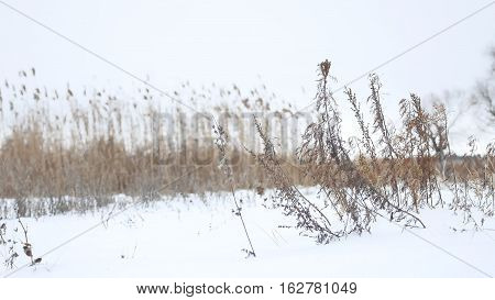 dry grass sways in wind in snow winter landscape nature