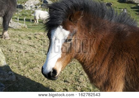 Red, copper coloured/ brown pony with white stripe and black mane, portrait