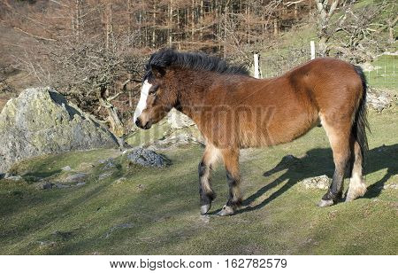 Red, copper coloured/ brown pony stood in a field in Autumn/ fall