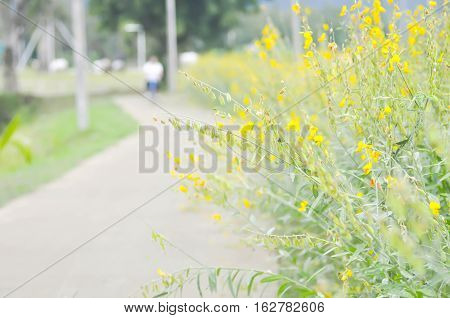 Crotalaria juncea Indian hemp or Madras hemp plant near the road