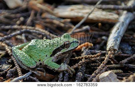 Green Sierran Treefrog (Pseudacris sierra) found in Northern California among the beautiful Moss Beach California USA area.