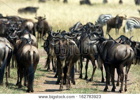 Herds of herbivorous in the savanna. Masai Mara, Kenya
