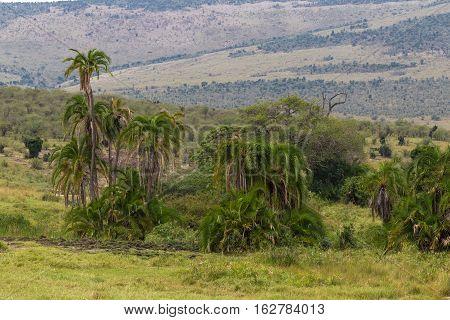 Landscape with palm trees of Masai Mara. Kenya, Africa.