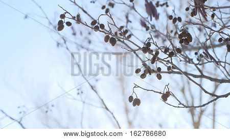 alder tree branch buds swaying in wind nature spring landscape offensive