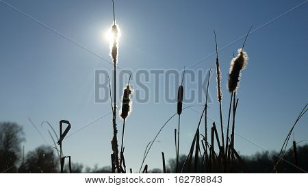 cattail grass silhouetted against blue sky winter nature landscape