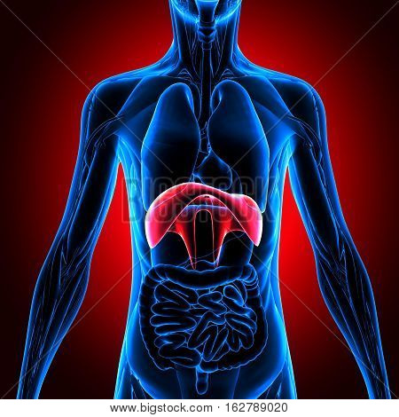 3d illustration human body organes.human body part
