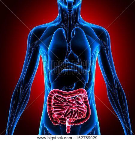 3d illustration human body organs.human body part