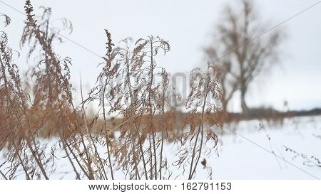 dry grass sways in wind in snow landscape winter nature