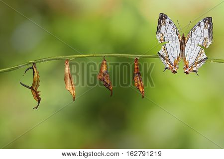 Transformation Of Common Map (cyrestis Thyodamas ) Butterfly From Caterpillar