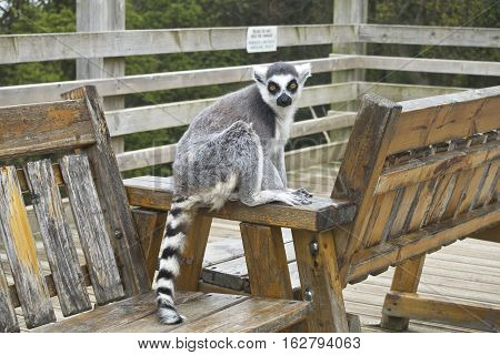 Ring tailed lemur on a bench posing