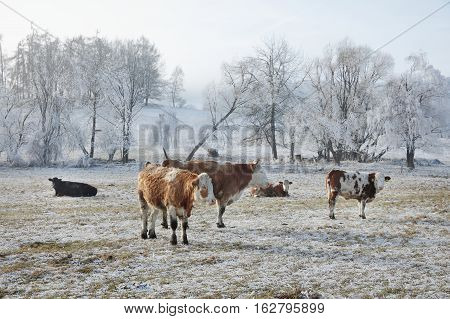 Herd of cows grazing on a frozen meadow. Winter landscape and a group of cows on the meadow. South Bohemia. Czech Republic