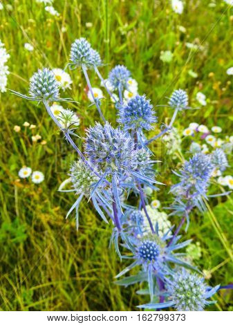 Flower of blue thistle (Eryngium) on a meadow