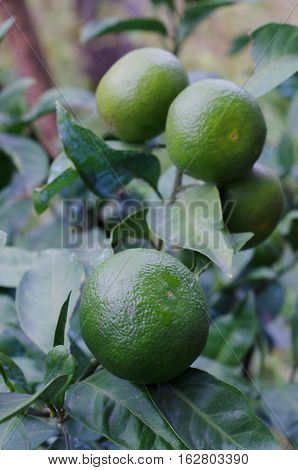 Mandarin tree with green fruits and leaves.Natural outdoor food background