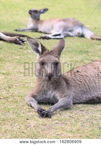 Kangaroos having an afternoon nap in a park