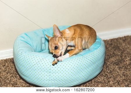 Chihuahua puppy chewing on toy while sitting in blue dog bed. Modern home indoor setting.