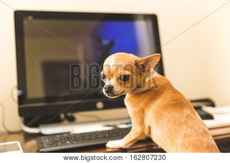 Chihuahua sitting at a computer, looking back sheepishly.