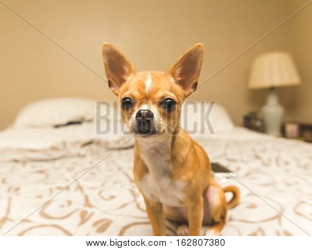 A young, cute chihuahua puppy sits well-behaved on a king bed in a modern home bedroom.