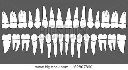 set of human teeth dental template for dental clinic, vector