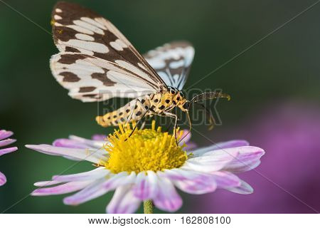 Macrophotography of a black and white moth on flowers