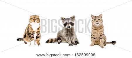 Raccoon and two cats sitting together isolated on white background