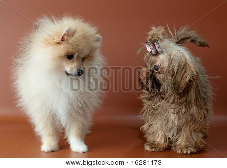 Puppies Of A Spitz-dog And Color Lap Dog