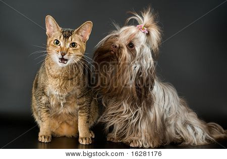 Tsvetnaya bolonka and cat in studio on a neutral background poster