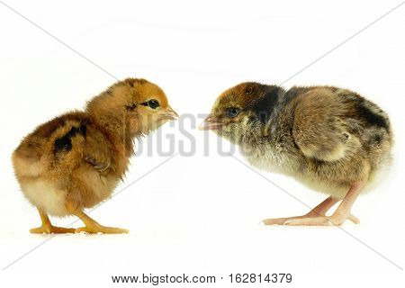 two chicks  isolated on a white background