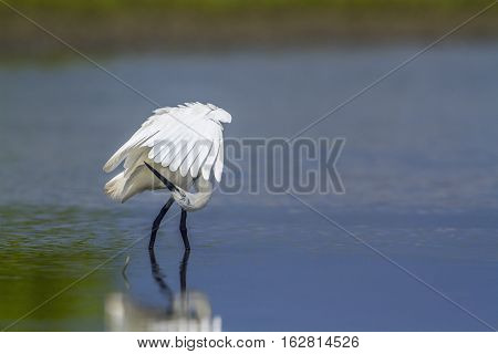 Little egret in Kalpitiya, Sri Lanka ; specie Egretta garzetta family of Ardeidae