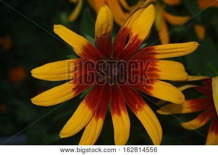 Cone Flower.