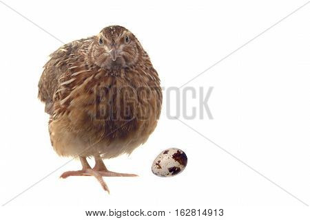 partridge and egg isolated on a white background
