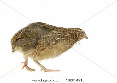 the partridge isolated on a white background