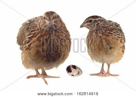 two partridges and egg isolated on a white background