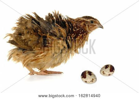 partridge and eggs isolated on a white background