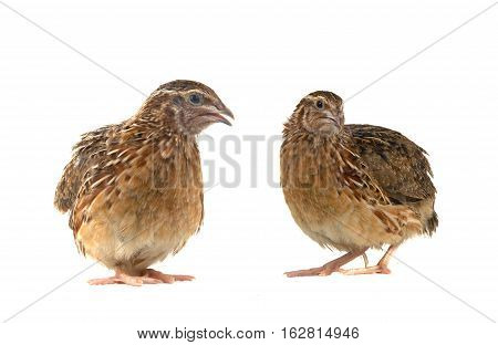 two partridges isolated on a white background