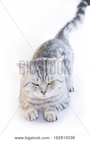Scottish straight cat ears. Angry gray cat
