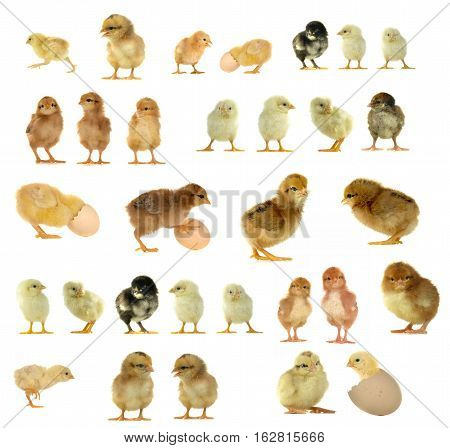 chicks and eggs isolated on a white background