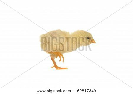 yellow chick isolated on a white background