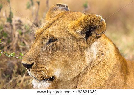 Head of lioness. Very beautiful lioness. Serengeti, Africa