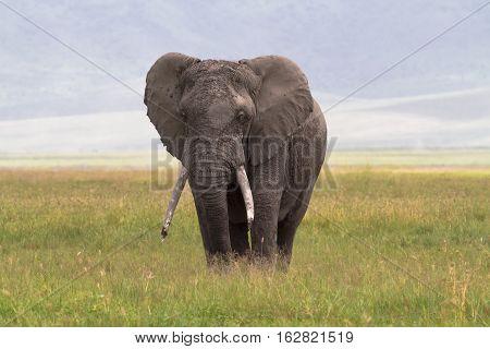 Old very big elephant. NgoroNgoro Crater. Tanzania,Africa
