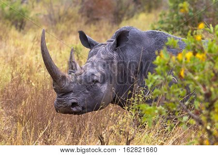 Very large head. White rhino. Meru park, Kenya