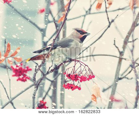 Waxwing bird sitting on a branch of rowan in frost