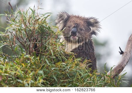 Koala bear (Phascolarctos cinereus) sitting and eating in a eucalyptus tree. Frontal view looking at camera with eye contact. Koalas are marsupials endogenous to Australia.