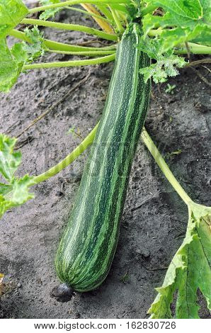 close-up of ripe zucchini in the vegetable garden