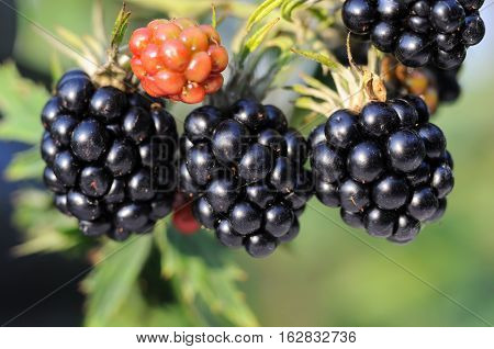close-up of blackberry fruit ripening on branch