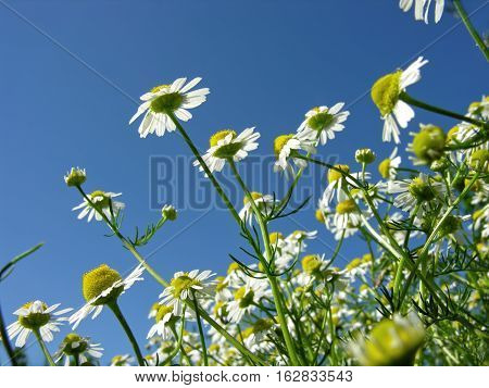 closeup of blooming camomile (Matricaria chamomilla) - homeopathic flowers