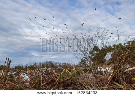 A flock of crows over a garbage dump. The official landfill of municipal solid waste in Maksatikha.