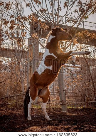 Beautiful piebald horse closeup in the walking open-air cage, nice sunny day. The horse rose on its hind legs. Horse walks on a pasture. Horse eating a hay at ranch summertime.