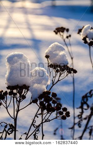 Beautiful Winter Background With Dry Plant In Snow
