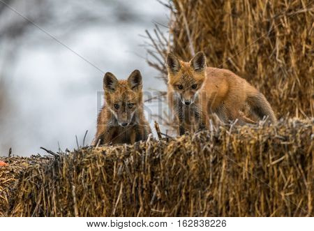 Red Fox Kits about to cause Mischief
